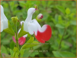 Salvia microphylla 'Little Kiss'