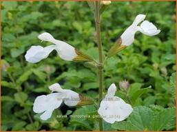Salvia microphylla 'Gletsjer'